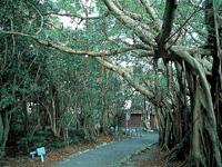 志戸子ガジュマル公園・写真