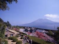 仙巌園(磯庭園)のサクラ・写真