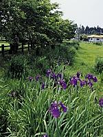 三日月池のハナショウブ・写真