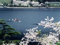 藺牟田池県立自然公園の桜・写真