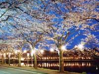 鷹巣中央公園の桜・写真