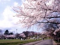 天童公園の桜・写真