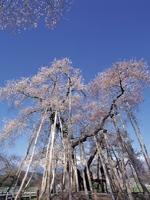 伊佐沢の久保桜・写真