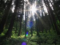 金山杉の美林・写真