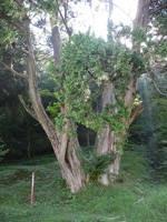 岩神権現のクロベ・写真