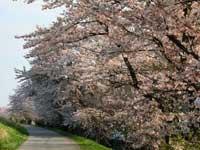 最上川堤防千本桜・写真