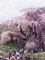 三春滝桜・写真