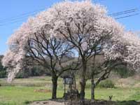 庄司戻しの桜・写真