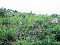 ヒメサユリの丘・写真