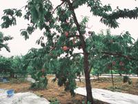 あづま果樹園・写真