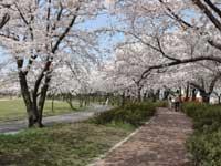開成山公園の桜・写真