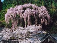 福聚寺のしだれ桜・写真