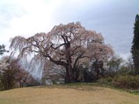 八十内かもん桜・写真