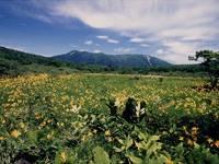 沼ッ原湿原のニッコウキスゲ・写真