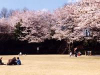 上三川城址公園の桜・写真