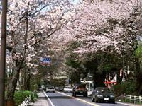日光街道桜並木・写真