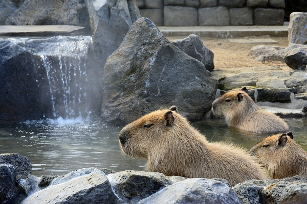 Les capybaras du parc Izu Saboten