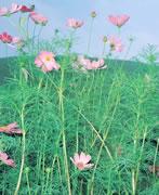 Cosmos flowers, Mt. Omuro