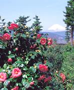 Camellia Blossoms at Mt. Komuro Park's Tsubaki Garden