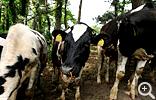 【大山】裾野には牧場も多く、動物とふれあえる