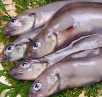 幻魚(ゲンゲ)