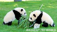 【和歌山】ふたごの赤ちゃんパンダ元気に成長中