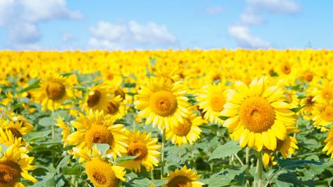 一面が黄色に染まる夏の絶景!全国ひまわり畑の名所