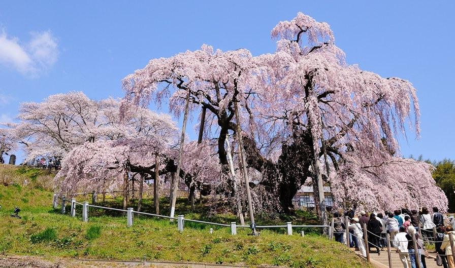 三春瀧櫻(福島縣)