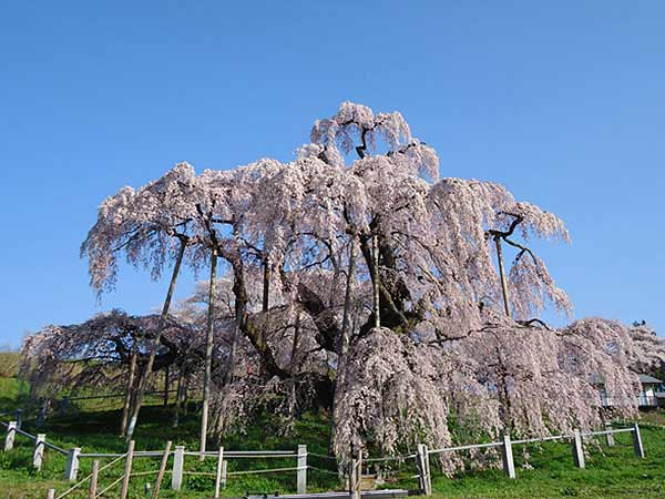 The Miharu Takizakura Cherry