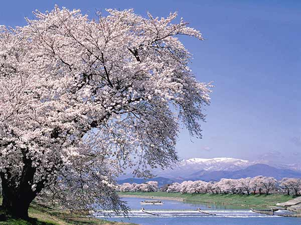 Shiraishi River Dike: View of 1,000 Cherry Trees
