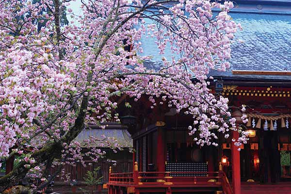 The Shiogama-zakura Cherry at Shiogama Shrine