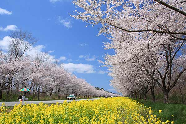 Sakura and Rapeseed Road