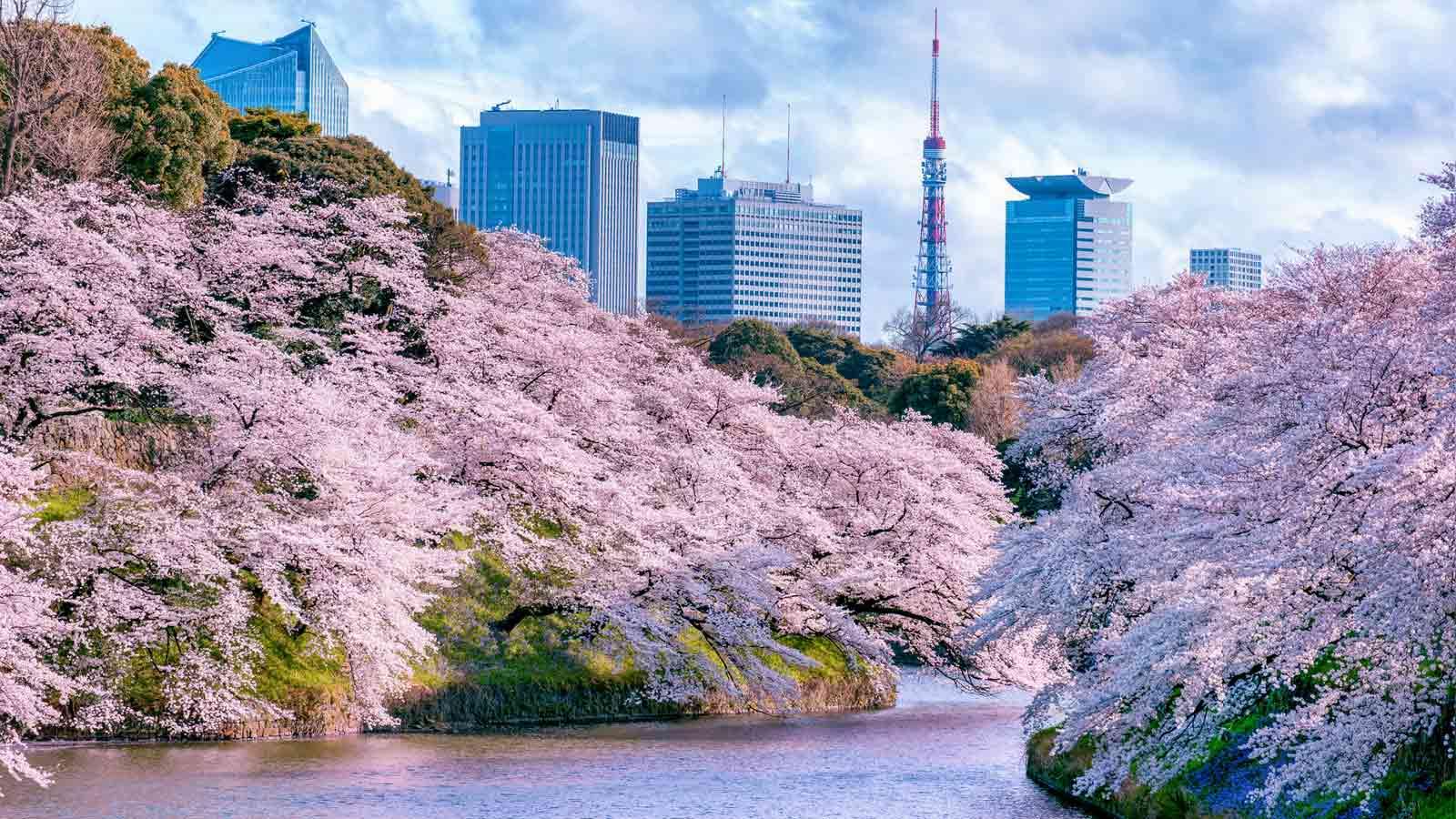 벚꽃 명소 10선 [도쿄편]