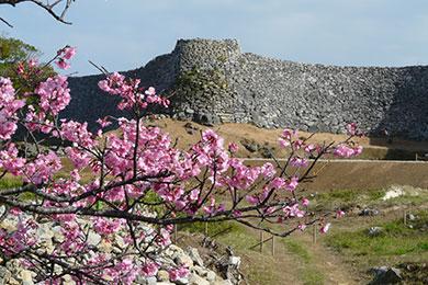 寒緋桜の名所で1月下旬から2月上旬にかけて見頃に。