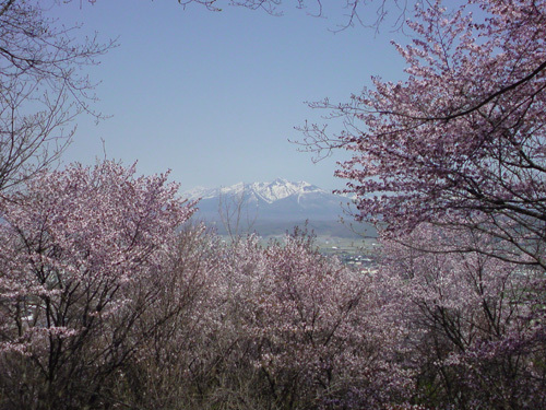 朝日ヶ丘公園の桜