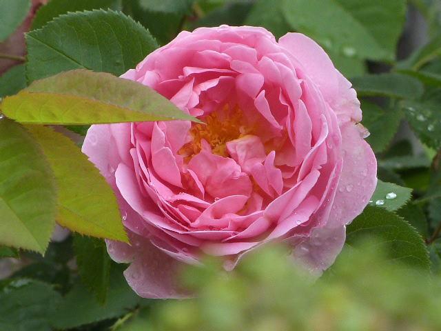 バラクラ英国庭園のバラ
