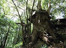 大楠の御神木
