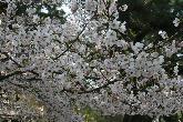 琴弾公園の桜