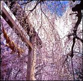 烏帽子山千本桜・写真