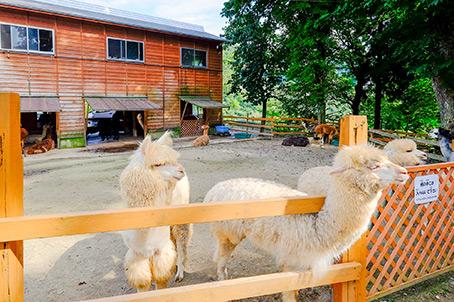 山古志 アルパカ牧場