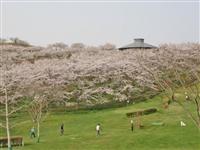 加護坊山の千本桜・写真