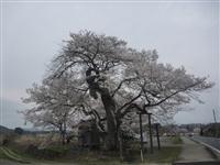 弘法桜・写真