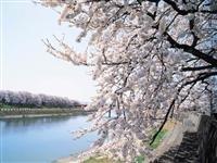 足羽川桜並木・写真