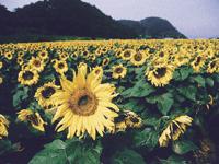 ひまわりの花畑・写真