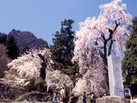 妙義神社のサクラ