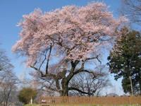 沼田公園(沼田城址)のサクラ・写真