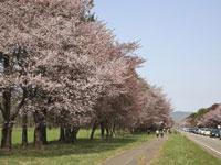 静内二十間道路桜並木・写真