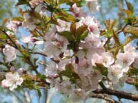 旭岳温泉自然探勝路の桜