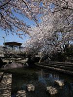 元荒川の桜並木・写真
