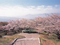 美の山公園の桜・写真